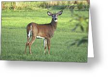 Spikehorn Whitetail Greeting Card