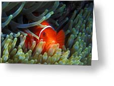 Spinecheek Anemonefish, Great Barrier Reef Greeting Card