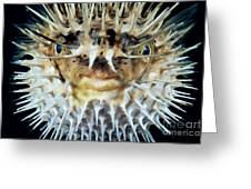 Spiny Puffer Greeting Card