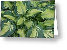 Splashy Hosta Greeting Card by Lillian Davis