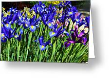 Vivid Blue Iris Flowers Greeting Card