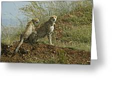 Spotted Cats Greeting Card