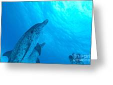 Spotted Dolphins Greeting Card