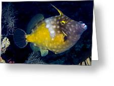 Spotted Filefish Greeting Card