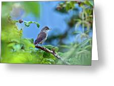Spotted Flycatcher Muscicapa Striata .  Greeting Card