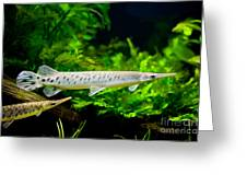 Spotted Gar Aquarium Fishes Pair Greeting Card