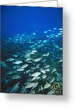 Spotted Grunt And Herring Fish Swimming Greeting Card by James Forte