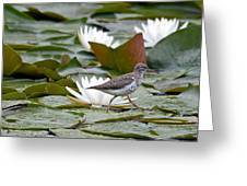 Spotted Sandpiper And Lilies Greeting Card