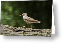 Spotted Sandpiper Greeting Card
