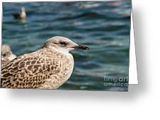Spotted Seagull Greeting Card