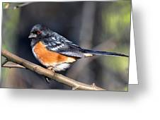Spotted Towhee Portrait Greeting Card