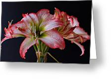 Spring Amaryllis Greeting Card