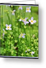 Spring Beauties Greeting Card