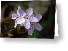 Spring Beauty Macro Greeting Card
