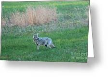 Spring Coyote  Greeting Card