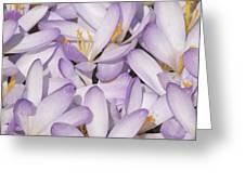 Spring Crocuses Greeting Card