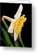 Spring Daffodil Flower Greeting Card