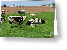Spring Day With Cows On An Amish Cattle Farm Greeting Card