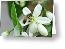 Spring Honey Bee Pollinates Orange Citrus Flower Greeting Card
