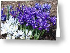Spring Japanese Iris Greeting Card