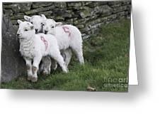 Spring Lambs 2 Greeting Card