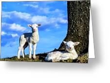 Spring Lambs Evening Light Greeting Card