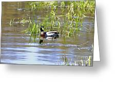 Spring Mallard 2010 Greeting Card