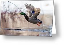 Spring Mallard  Greeting Card