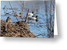 Spring Mallards Greeting Card