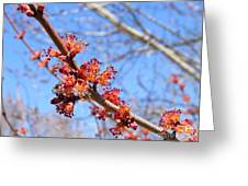 Spring Maple Blossoms Greeting Card