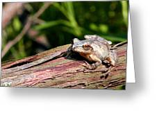 Spring Peeper Greeting Card by Betsy LaMere