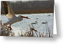 Spring Pelicans 2 Greeting Card