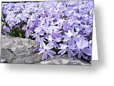 Spring Phlox Greeting Card