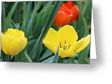 Spring Tulips 144 Greeting Card