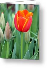 Spring Tulips 211 Greeting Card