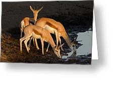 Springboks Drinking Greeting Card