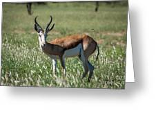 Springbuck And Butterfly Greeting Card