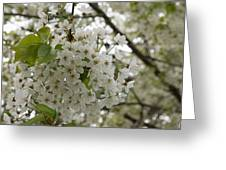 Springtime Abundance - Masses Of White Blossoms Greeting Card