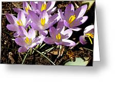 Springtime Crocuses  Greeting Card
