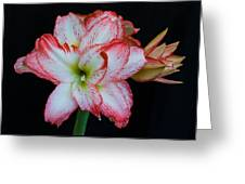 Springtime Florida Amaryllis Greeting Card
