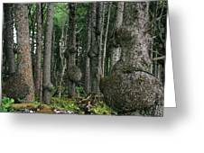 Spruce Burls Olympic National Park Wa Greeting Card by Christine Till