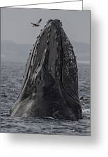 Spyhopping Humpback Whale In Monterey Bay Greeting Card