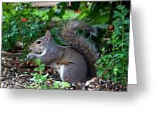 Squirrel IIi Greeting Card