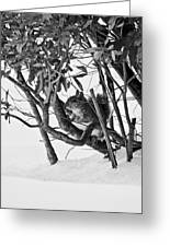 Squirrel In Low Branches Greeting Card