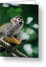Squirrel Monkey Looking Up Greeting Card