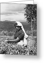 Sri Lanka Tea Plantation Greeting Card