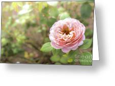 St. Cecilia Shrub Rose, Pink Rose Originally Produced By The Br Greeting Card