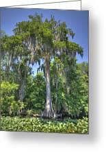 St. Johns Cypress Greeting Card