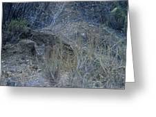 Stalked - Mountain Lion Greeting Card
