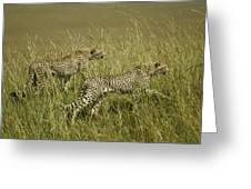 Stalking Cheetahs Greeting Card